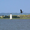 Brown Pelican flies past Cockspur Island Lighthouse.<br /> Savannah River Channel