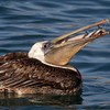 Brown Pelican with Mouth Full of Fish