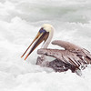 Brown Pelican in White Surf
