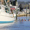 Brown Pelicans waiting for a handout of the day's catch!