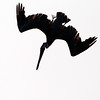 Diving Brown Pelican in Silhouette
