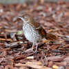Brown Thrasher <br /> Georgia's State Bird<br /> Savannah's River Street