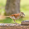 Brown Thrasher<br /> This particular Brown Thrasher has an extra long and curved bill.