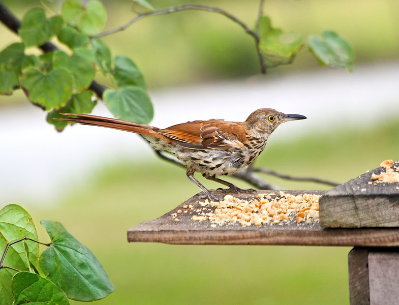 Brown Thrasher<br /> Georgia's State Bird