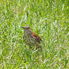 Brown Thrasher <br /> Georgia's State Bird