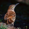 Adult Brown Thrasher