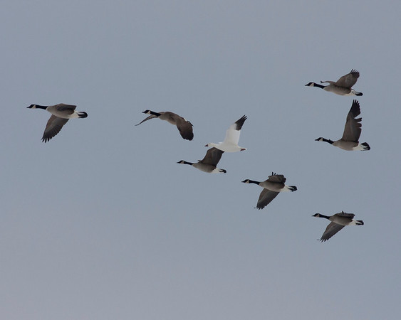 A gaggle of geese, including a Snowy Goose.