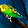 Budgerigars : I recommend that you click on the slide show button at the top right side of this page to sit back and enjoy the fine art show. When the slide show begins, I suggest that you click on Hide Captions to view the images unencumbered by text. You can click on the 'Slow,' 'Medium,' or 'Fast' button for your speed preference.