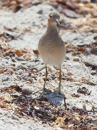 Buff-breasted Sandpiper