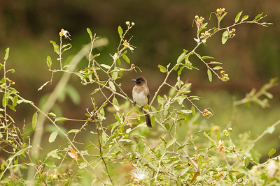 Common Bulbul - Lake Manyara National Park, Tanzania