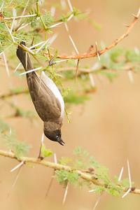 Common Bulbul - Ngorongoro Crater, Tanzania