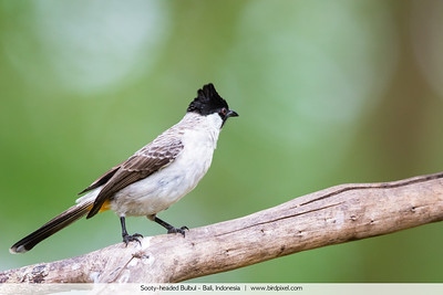 Sooty-headed Bulbul - Bali, Indonesia