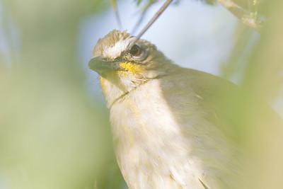 White-browed Bulbul - Record - Near Koradi, Nagpur, India