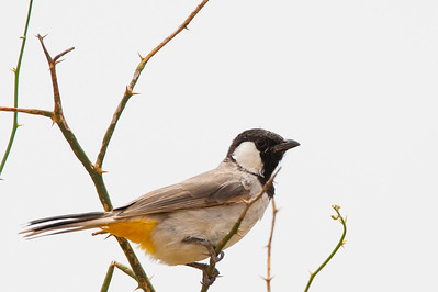 White-eared Bulbul - Kutch, Gujrat, India