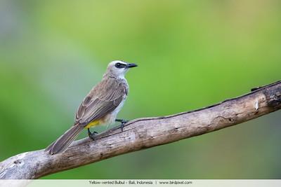 Yellow-vented Bulbul - Bali, Indonesia