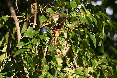0U2A7198Bullocks Oriole Nest