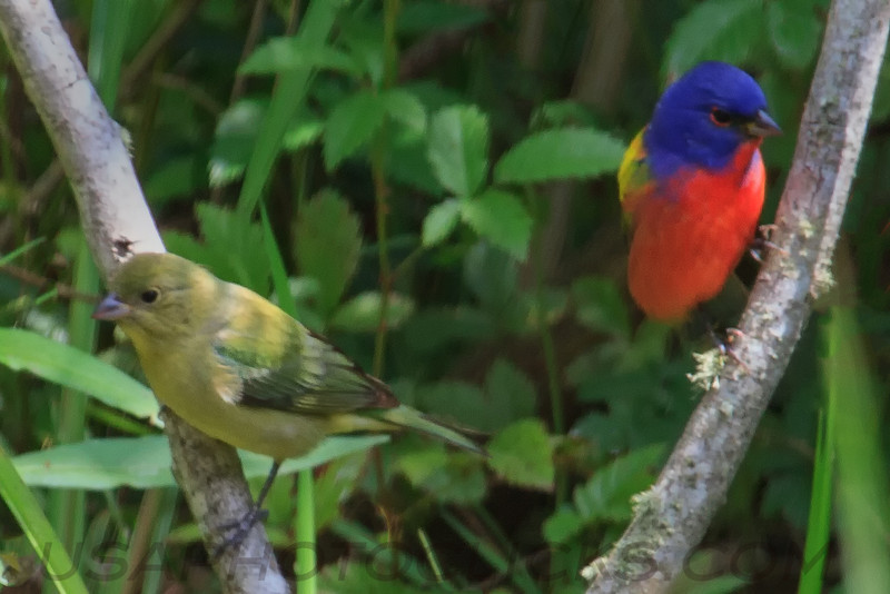 Painted Bunting (b0103)