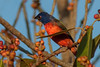 Painted Bunting (b0104)