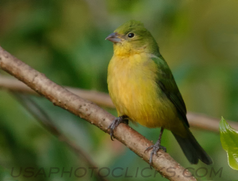 Painted Bunting (b0102)