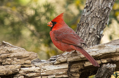 Northern Cardinal (Cardinals cardinals)
