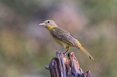Summer Tanager (Piranga rubra) - female, adult western