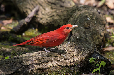 Summer Tanager, male (Piranga rubra)