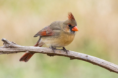 Northern Cardinal - female (Cardinalis cardinals)