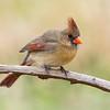 Northern Cardinal - female (Cardinalis cardinals)