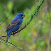 Blue Grosbeak (Passerina caerulea)