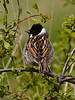 Reed Bunting (Emberiza schoeniclus). Copyright 2009 Peter Drury