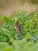 Yellowhammer (Emberiza citrinella). Copyright Peter Drury 2010