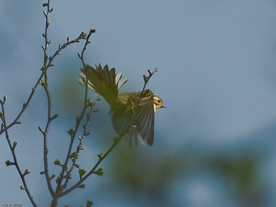 Buntings (Emberizidae)