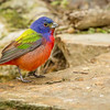 Painted Bunting, South Padre Island Convention Center, Texas