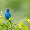 Indigo Bunting, Great Smoky Mountains National Park, Tennessee