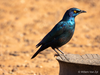 20190705 Burchell's Starling (Lamprotornis australis) from Olifantshoek, Northern Cape