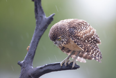 A wet burrowing owl