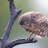 A wet burrowing owl