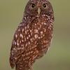 """Burrowing Owl  <a href=""""http://www.wklein.smugmug.com"""">http://www.wklein.smugmug.com</a>"""