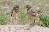 Burrowing owl babies