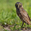 "Female Burrowing Owl after taking a bath. Pretty interesting to watch this female bathing in the lawn sprinkler. She actually seem to enjoy it! Her mate would have nothing to do with it.  <a href=""http://www.wklein.smugmug.com"">http://www.wklein.smugmug.com</a>"