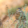 Burrowing Owlet at sunset