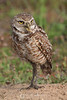 Burrowing owl with grasshopper