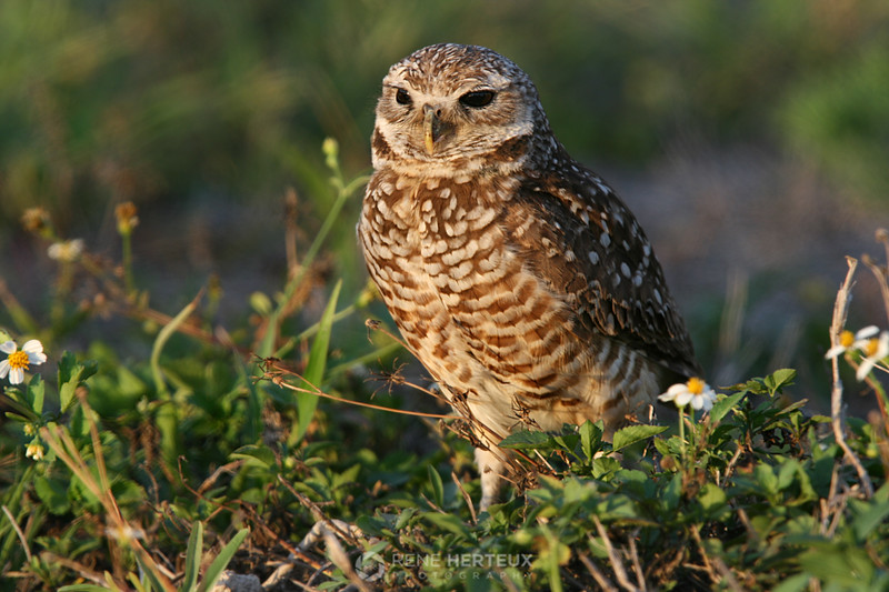 Burrowing owl in sunset