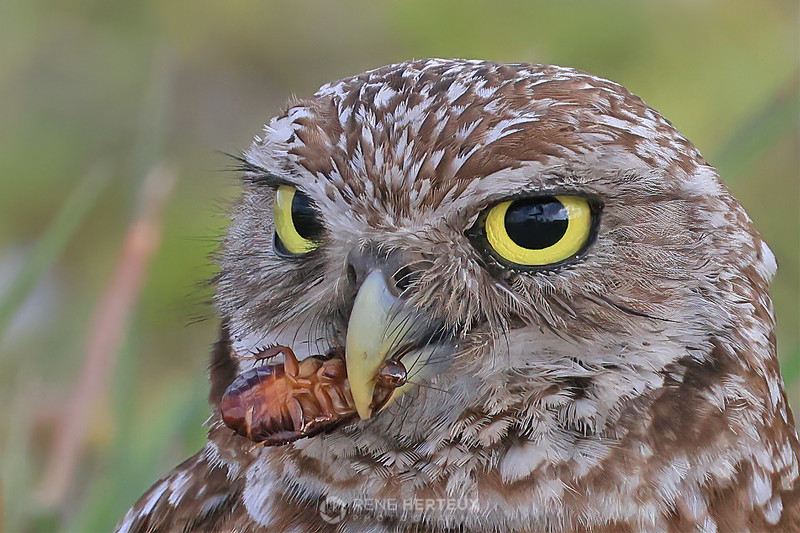 Burrowing owl with cockroach