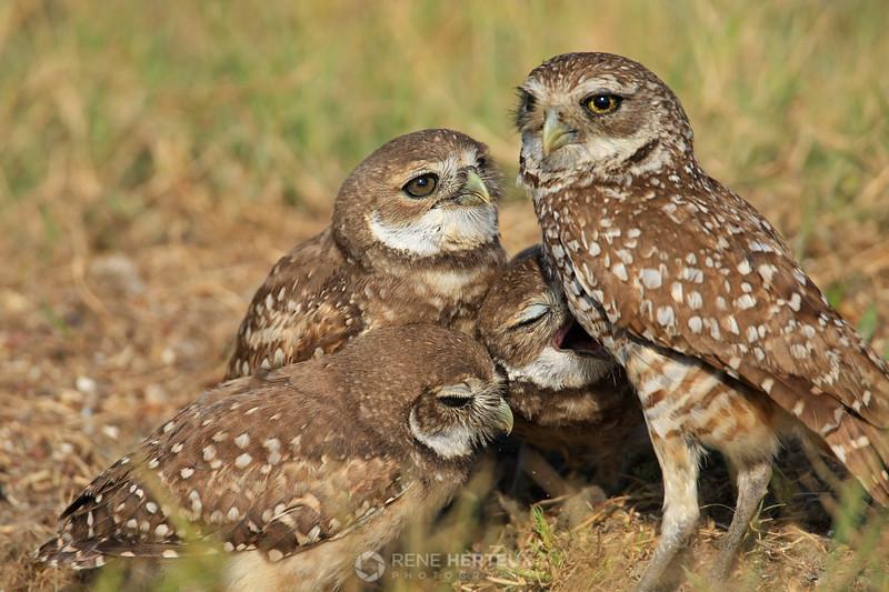 Where's the food? - Burrowing owl babies