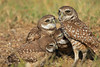 Where's the food? - Burrowing owl babies