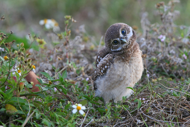 Curious burrowing owl baby