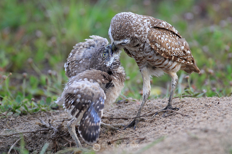 Burrowing owl feeding frenzy 1