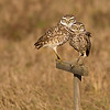 Burrowing Owls on nest marker in Cape Coral, Florida