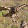 Burrowing Owl-7552-Edit